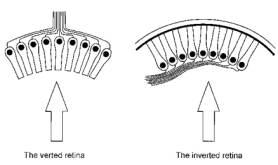 The Evolution of the Human Eye Octopus Eye Vs Human Eye